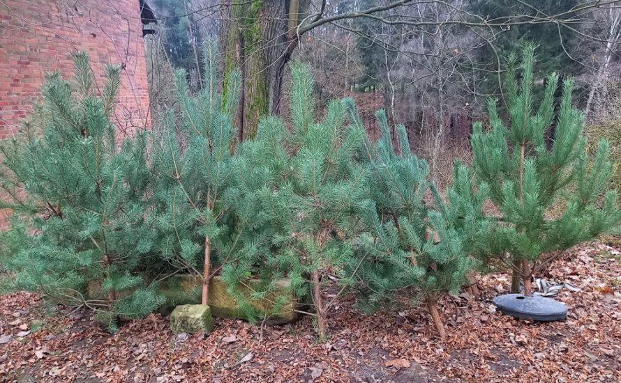 Prodej vánočních stromků zplantáže 2020